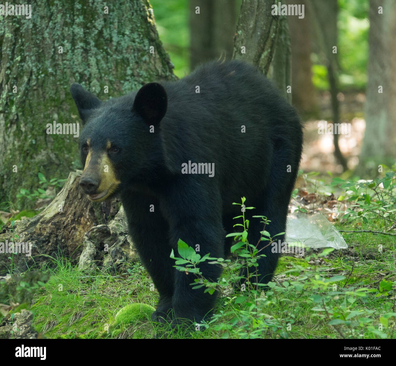 Black Bear in the Pennsylvania woods, sniffing the air for food - Stock Image