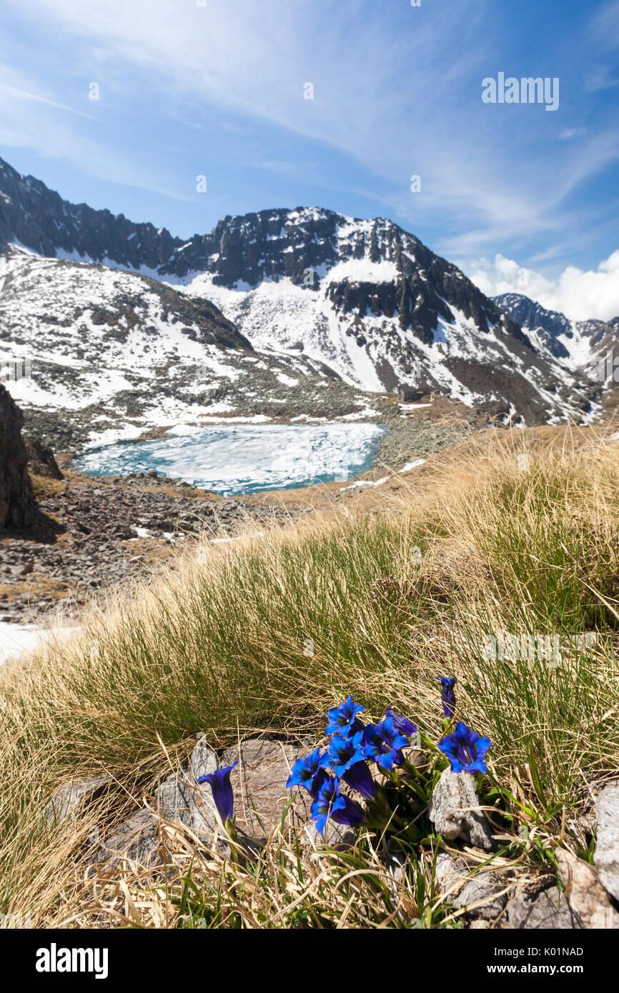 Gentians surround Lago Rotondo during summer thaw Val Malga Adamello Regional Park province of Brescia Lombardy Italy Europe - Stock Image