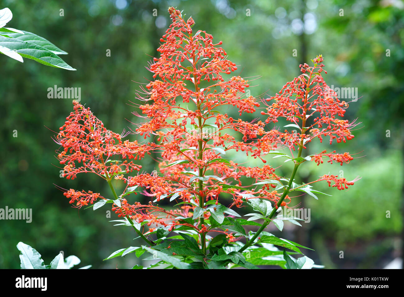 Clerodendrum paniculatum flowers blossoming in the garden, this is also a medicine to treat human eyes and menstruation. - Stock Image