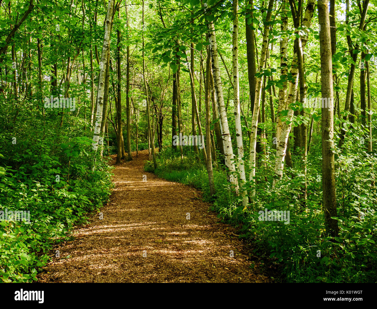 Path through woods with birch trees. Lion's Den Gorge Nature Preserve, Wisconsin. - Stock Image