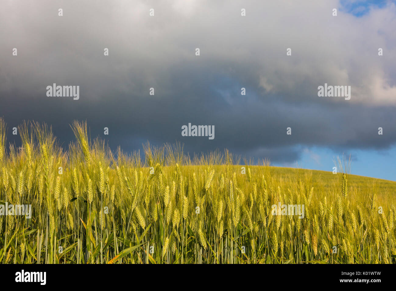 Clouds and sun on the green rolling hills and ears of corn Crete Senesi (Senese Clays) province of Siena Tuscany Italy Europe - Stock Image