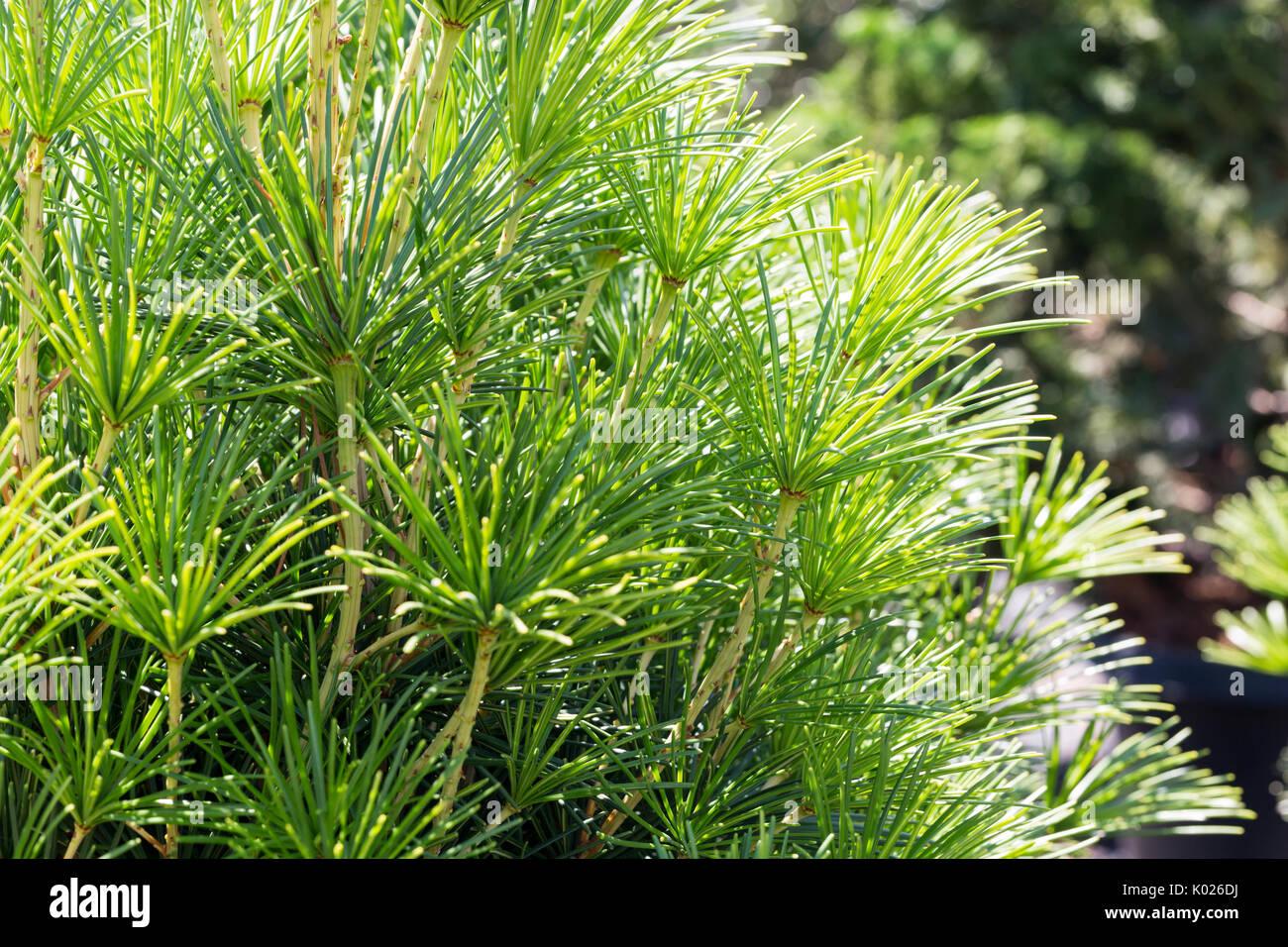 Close up view of a Japanese Umbrella Tree Stock Photo