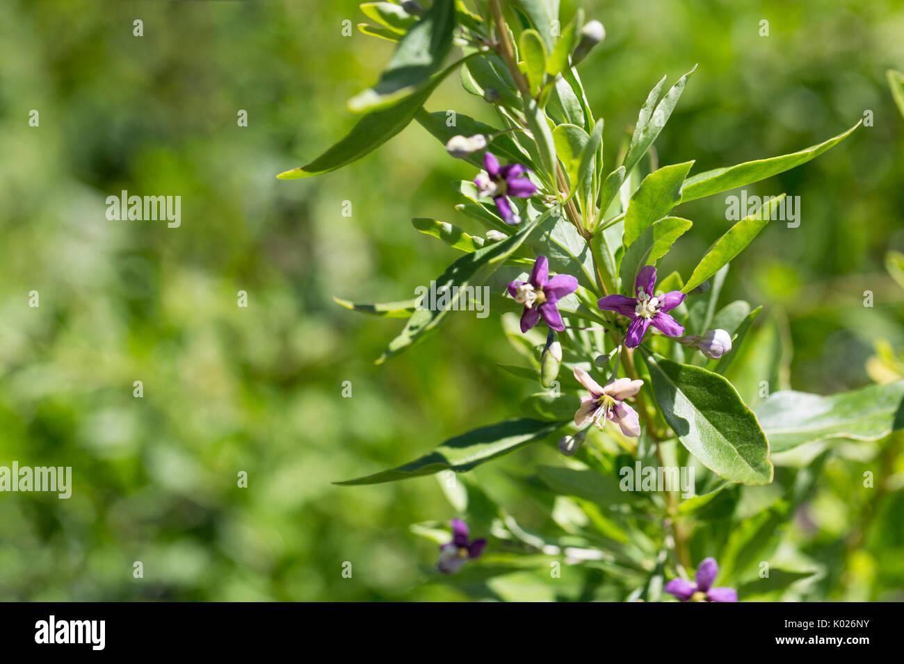 Flowering Goji Berry Plant Stock Photo Alamy
