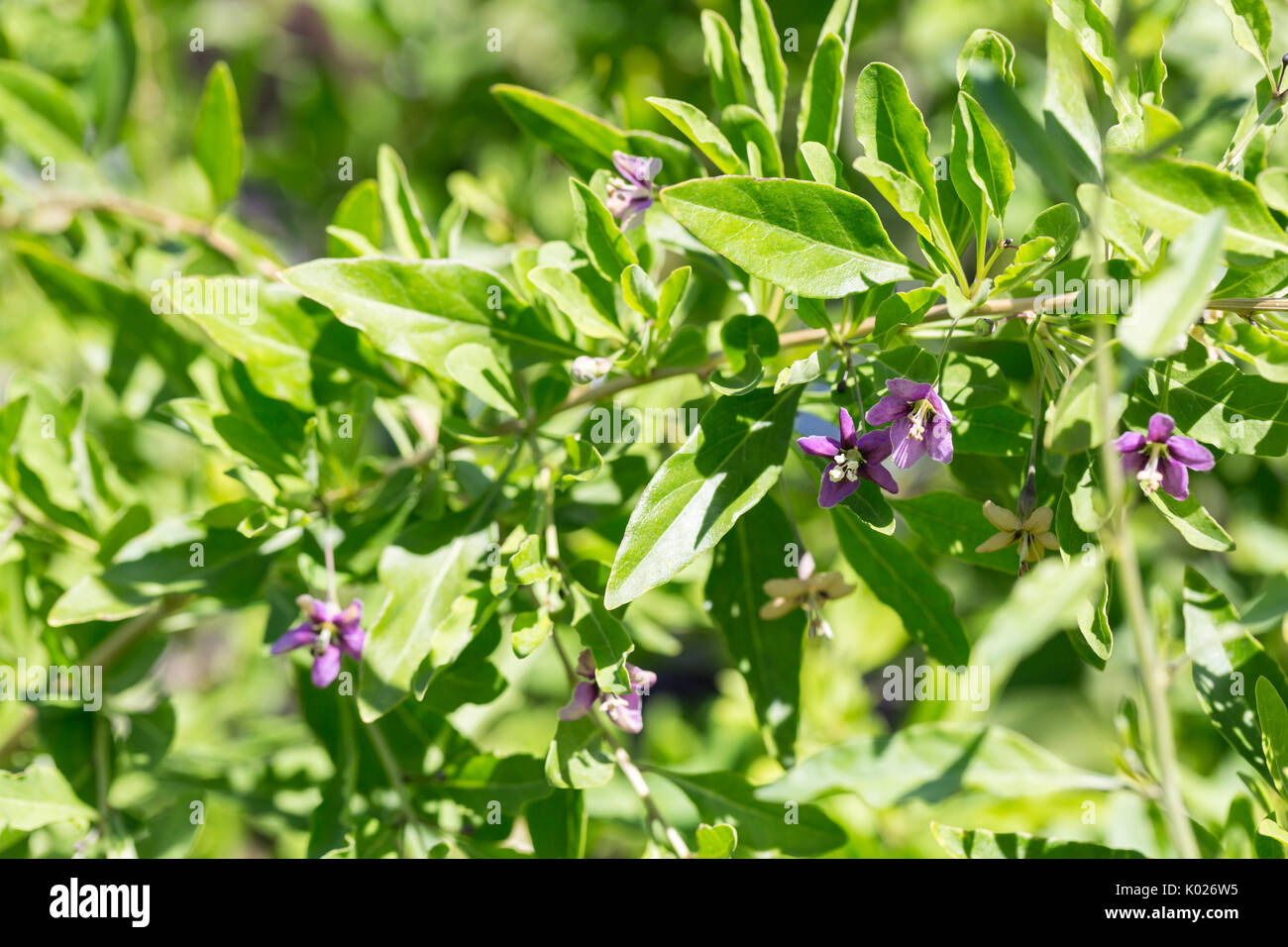 Goji Berry Plant High Resolution Stock Photography And Images Alamy