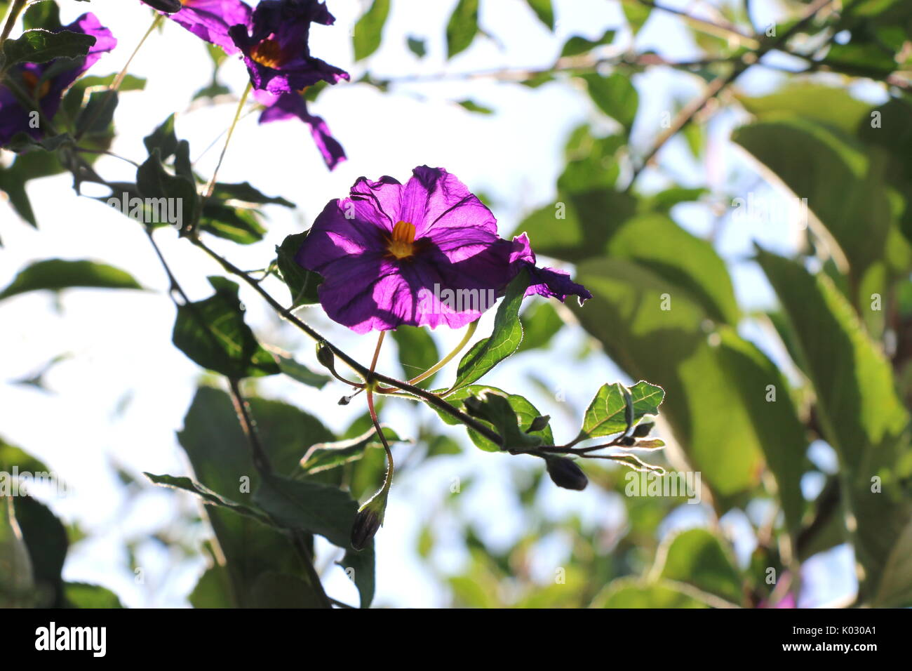 Delicate purple morning glory flower, backlit against the sky. - Stock Image