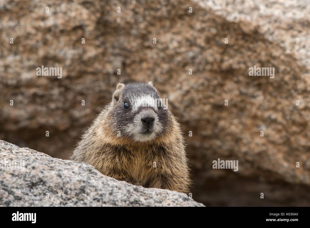 Baby yellow-bellied marmot - Stock Image