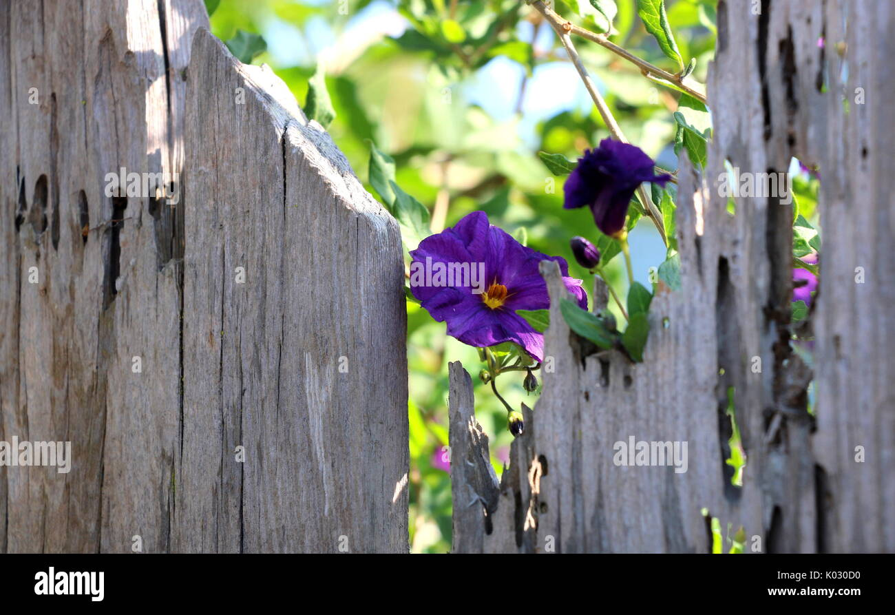 Purple morning glory flower frame by old weathered fence. - Stock Image