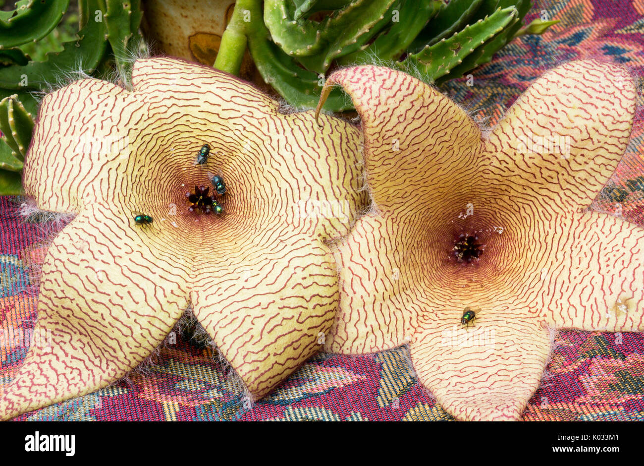 Carrion plant flowers in bloom.  Starfish flowers attracting green bottle flies. - Stock Image
