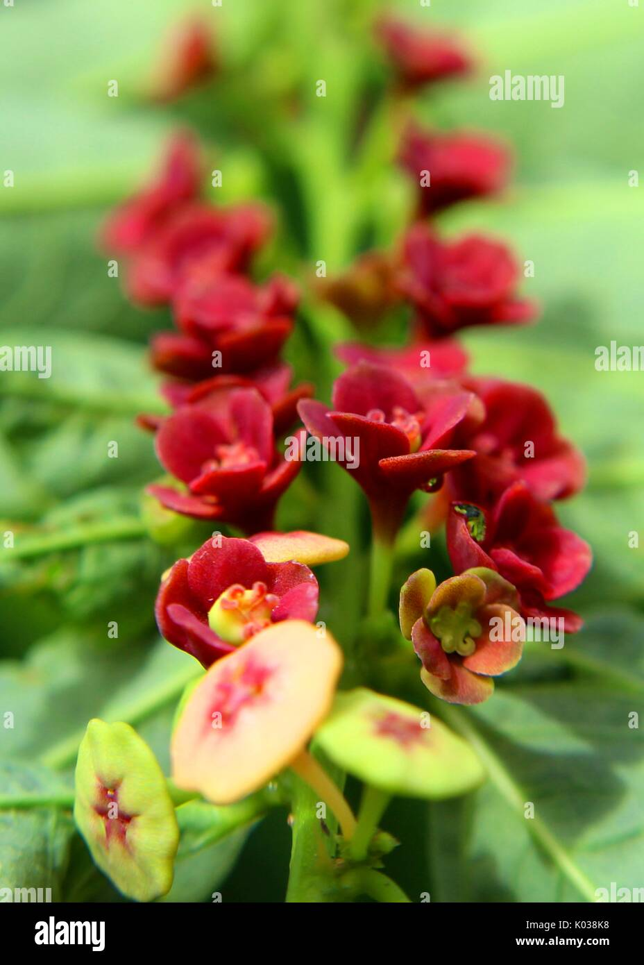 close-up - macro - view of beautiful red - velvet color small sweet leaf - japan batu - Sauropus androgynus - flowers Stock Photo