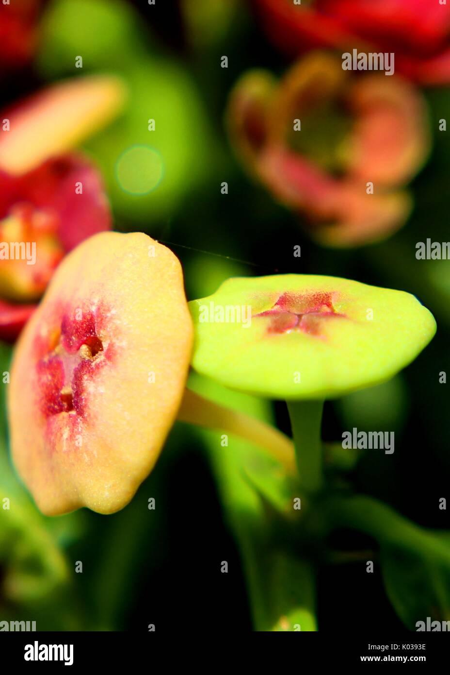 close-up - macro - view of beautiful red - velvet color small sweet leaf - japan batu - Sauropus androgynus - flowers Stock Photo