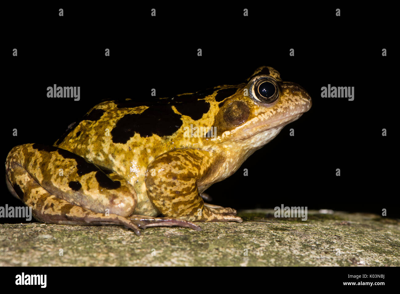 Common frog (Rana temporaria) with bold markings. Brightly marked amphibian in the family Ranidae, against black background - Stock Image