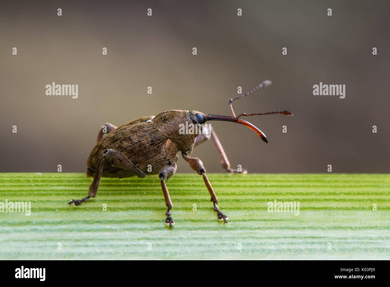 Large weevil with long rostrum. Extraordinary beetle in the family  Curculionidae, probably Curculio sp., in profile - Stock Image