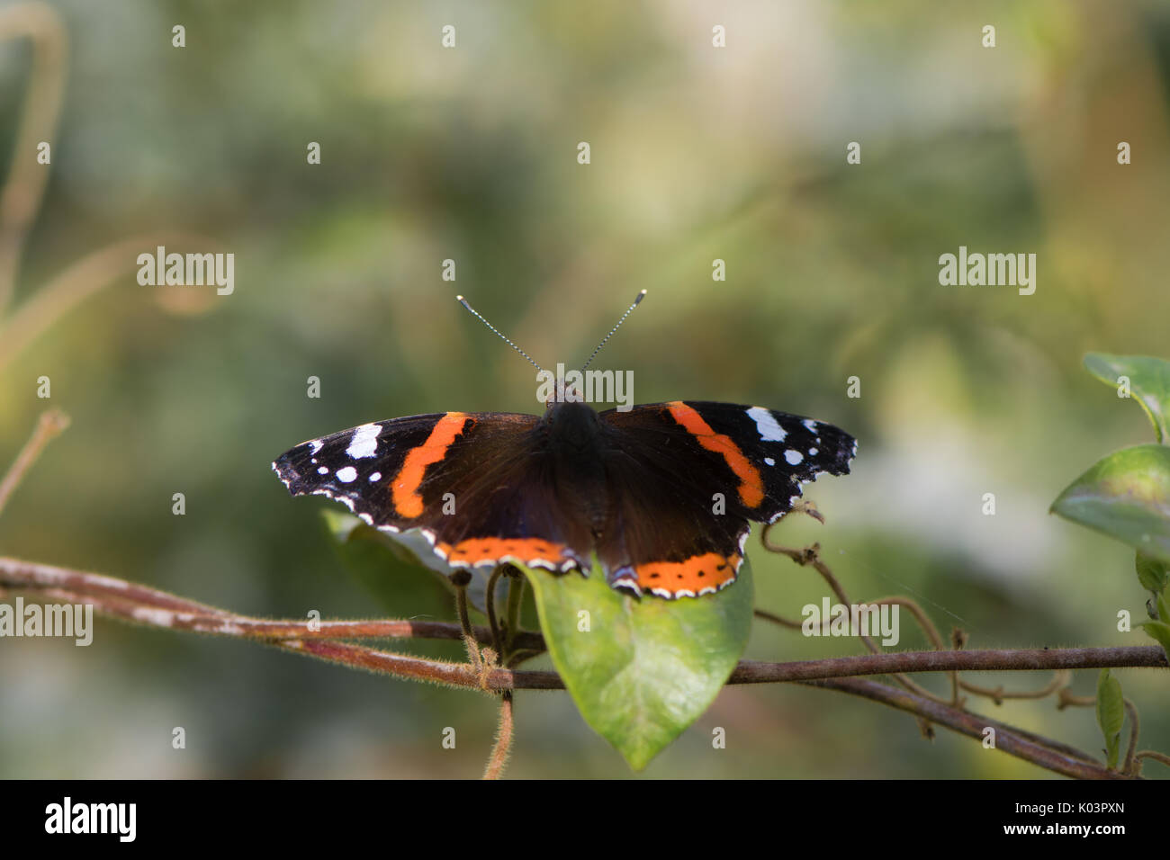 Red admiral butterfly (Vanessa atalanta) with wings open. Insect in the family Nymphalidae at rest showing orange and white markings on upperside - Stock Image