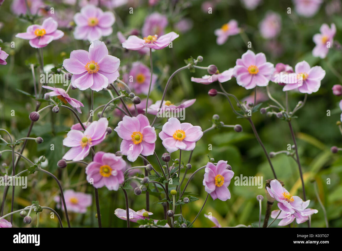 Japanese anemone (Anemone hupehensis) in flower. Pink garden plant in the family Ranunculaceae, aka Chinese anemone, Stock Photo