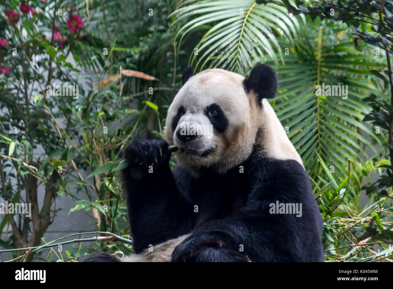 Cute Giant Panda eating bamboo from China Stock Photo
