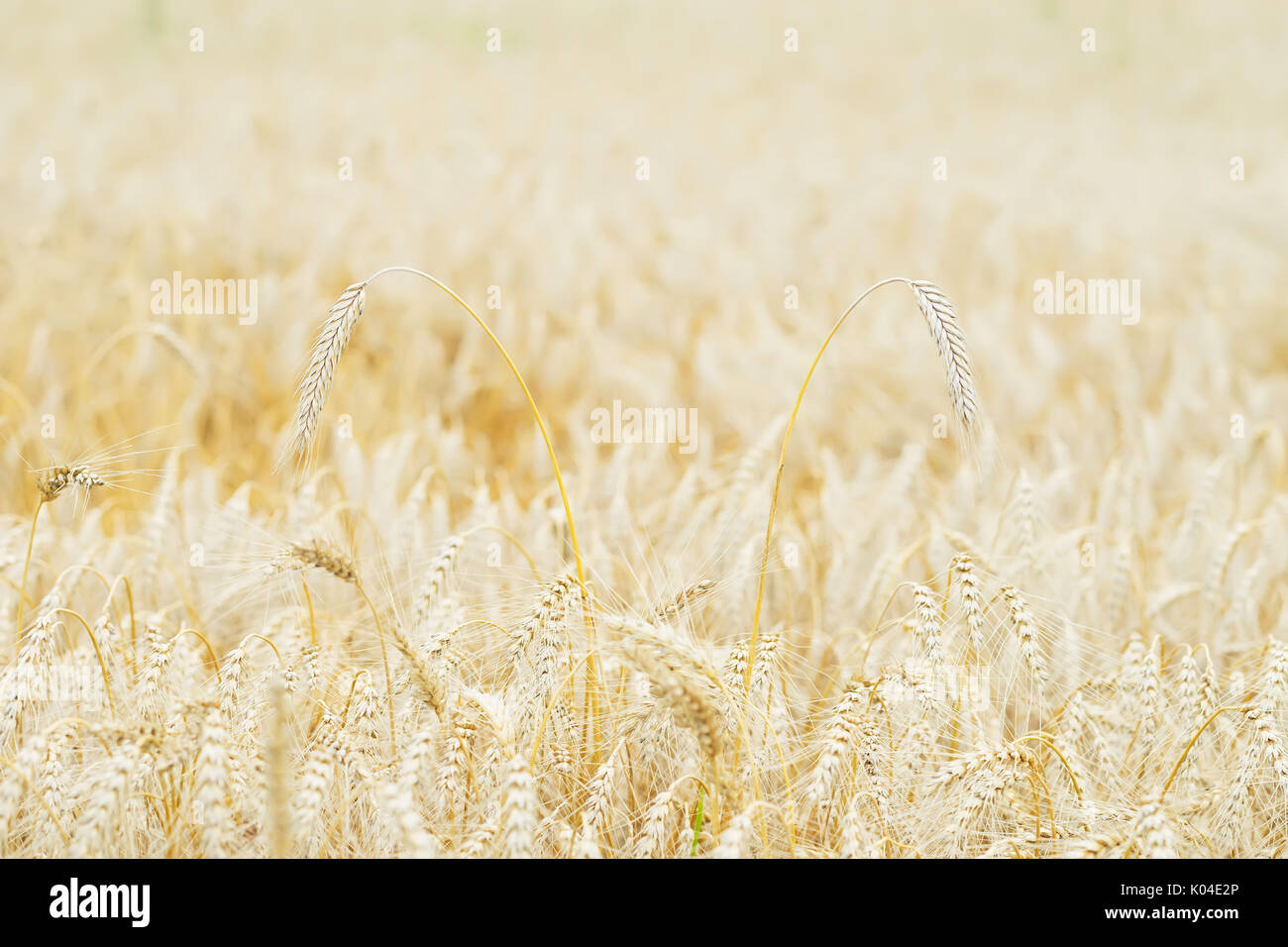 Wheat field, ears of cereals in the hot summer noon, selective focus - Stock Image