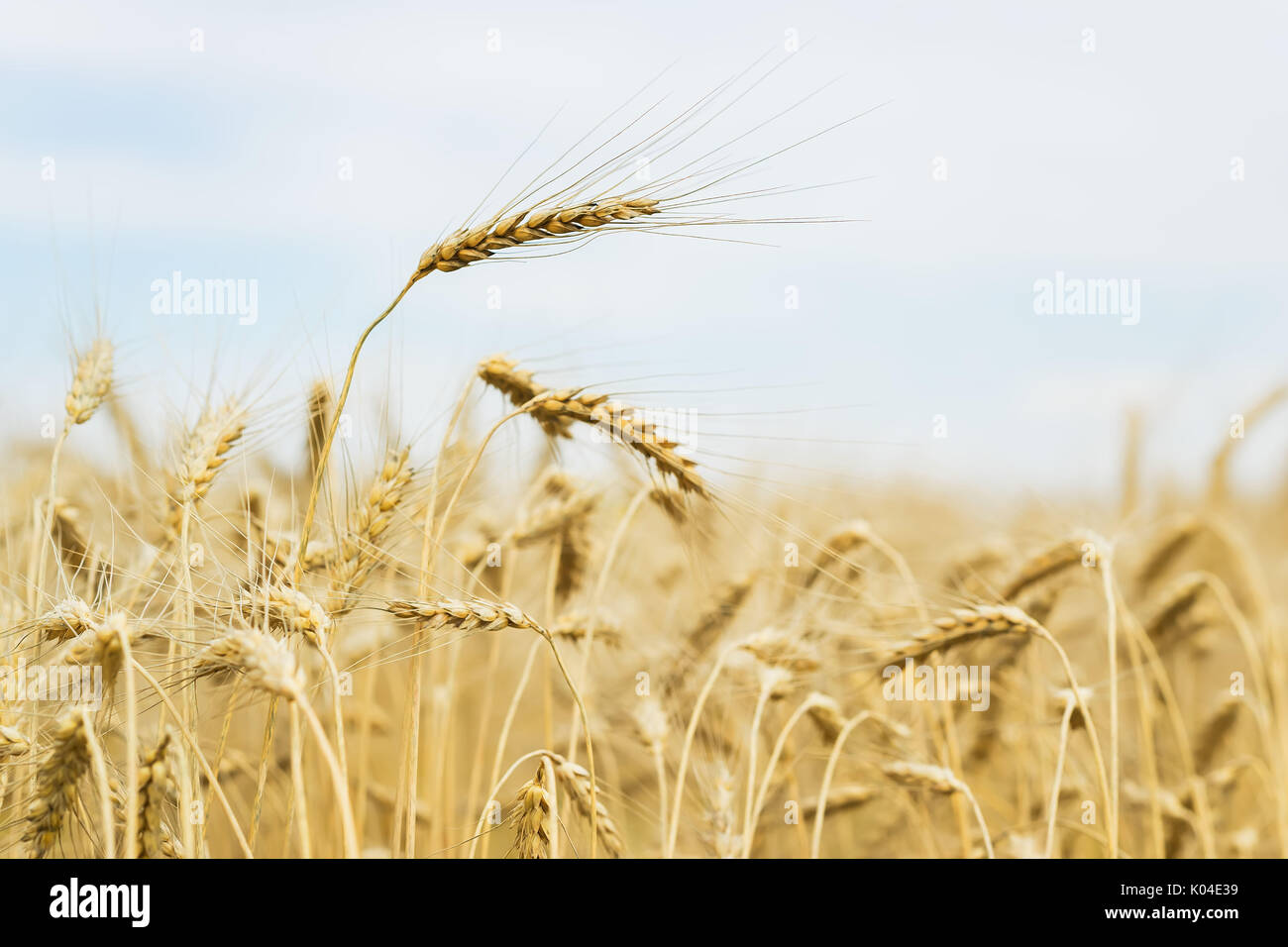 Ripe cereal ears close-up on hot summer afternoon on background of yellow field and blue sky - Stock Image