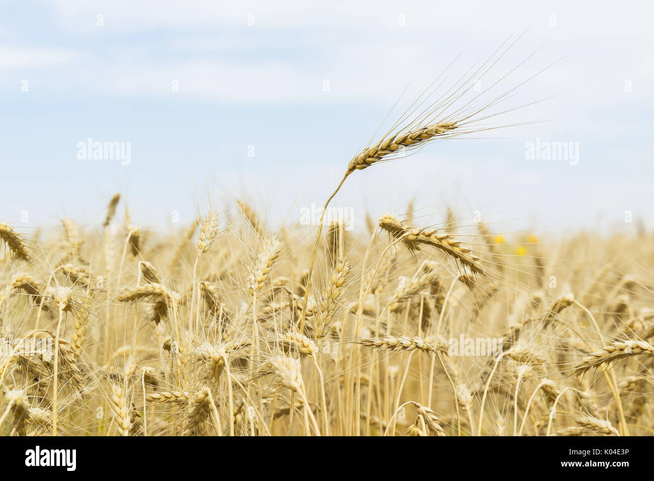 Hot summer afternoon in field. Close-up of ripe cereal ears, for seasonal background - Stock Image