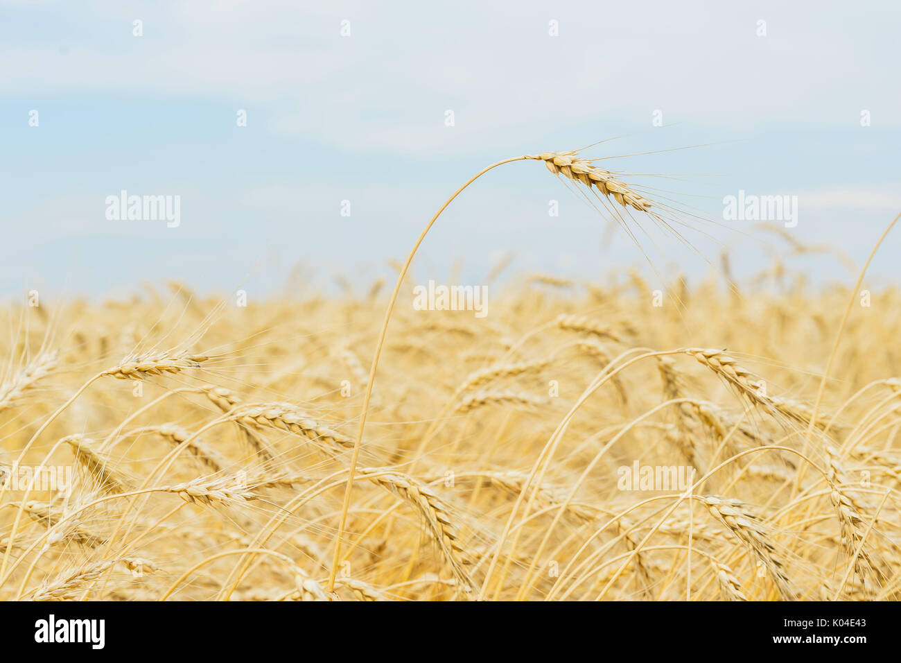 One high tall ripe full-grain cereal close-up on a hot summer afternoon against a yellow rye field, wheat and blue sky - Stock Image