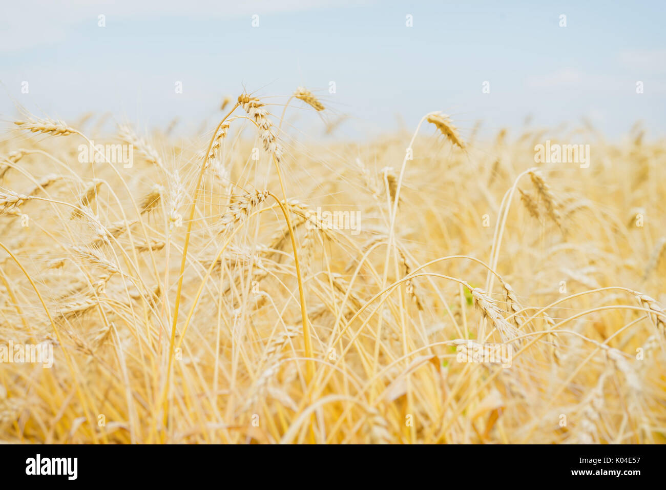 Cereal yellow ears in a hot, sultry summer afternoon against a cloudless light-blue sky. Rural background. - Stock Image