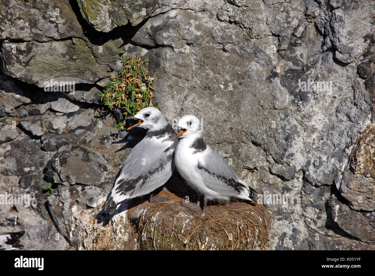 Juvenile Kittiwakes with beaks open waiting to be fed by their parents - Stock Image
