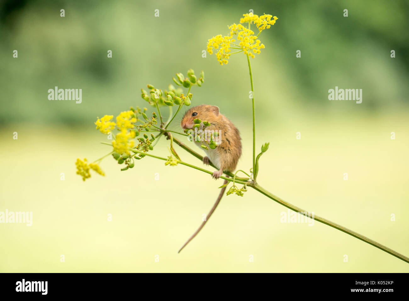 Harvest mouse (Micromys minutus) eating seeds and flowers of wild parsnip (Pastinaca sativa) - Stock Image