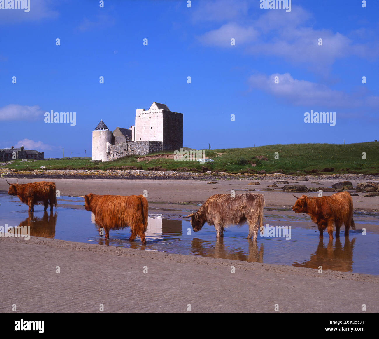 Highland cows are seen here enjoying the hot summer weather at Breachacha Castle on the beautiful island of Coll, Argyll - Stock Image