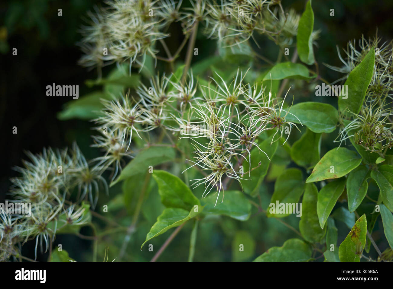 Clematis vitalba close up - Stock Image