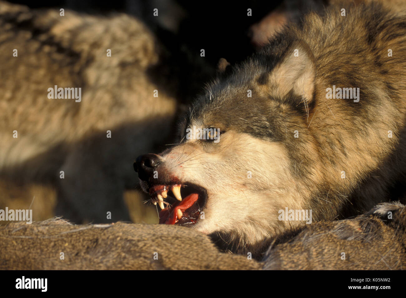 Timber or Grey Wolf, Canis Lupus, Minnesota USA, controlled situation, autumn, wolf pack on deer kill, growling, snarling, teeth - Stock Image