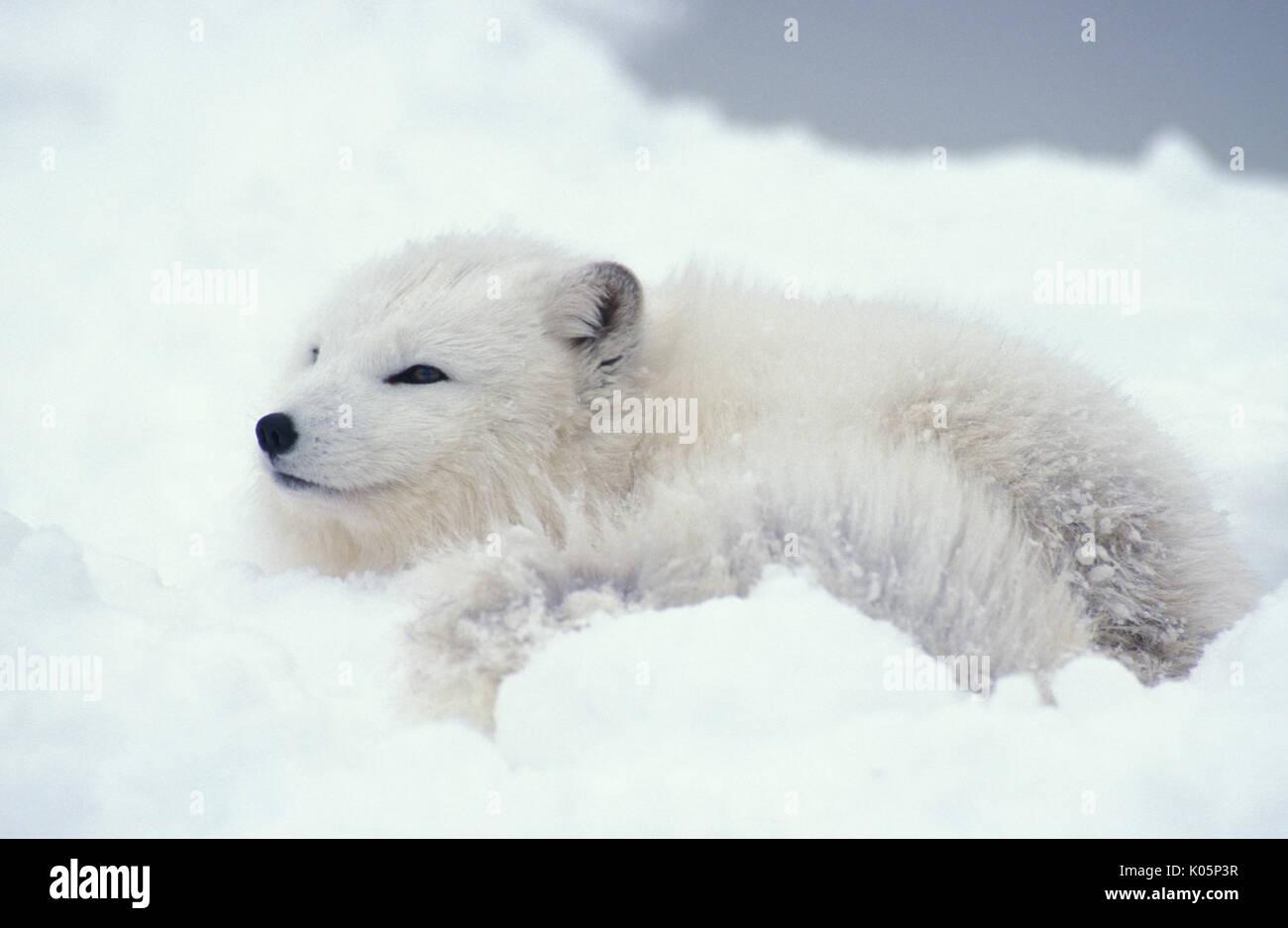 c0278736e7c Arctic Fox (Alopex lagopus) - Minnesota