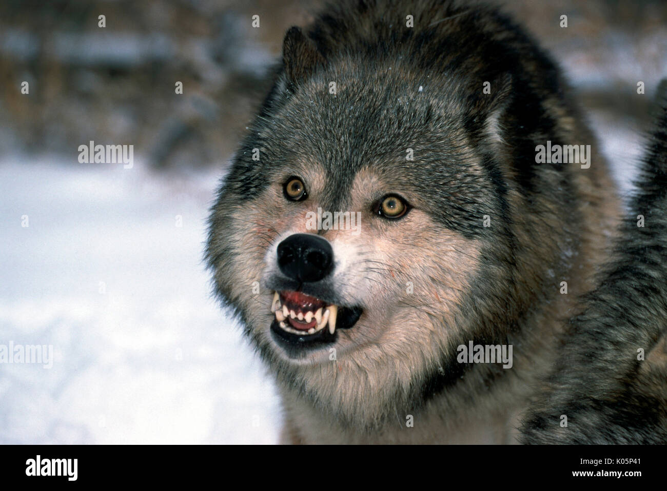 Timber or Grey Wolf, Canis Lupus, Minnesota  USA  single wolf showing agggressive behaviour, growling, snarling, baring teeth, staring, eyes - Stock Image