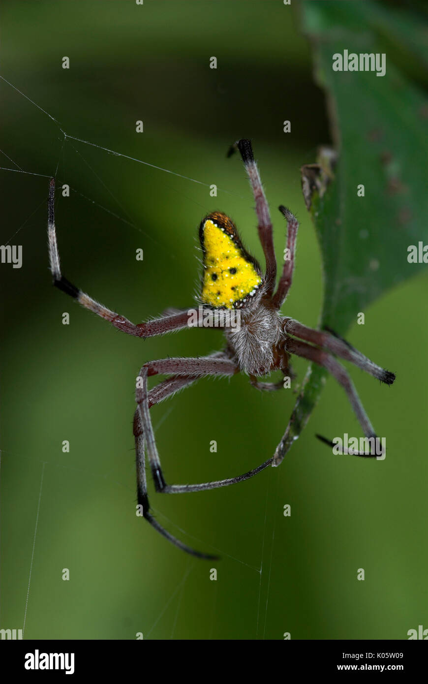 Cribellate Spider, Family Uloboridae, Manu Peru, on web, night, jungle, amazon, yellow triangle abdomen, on form of orb web - Stock Image