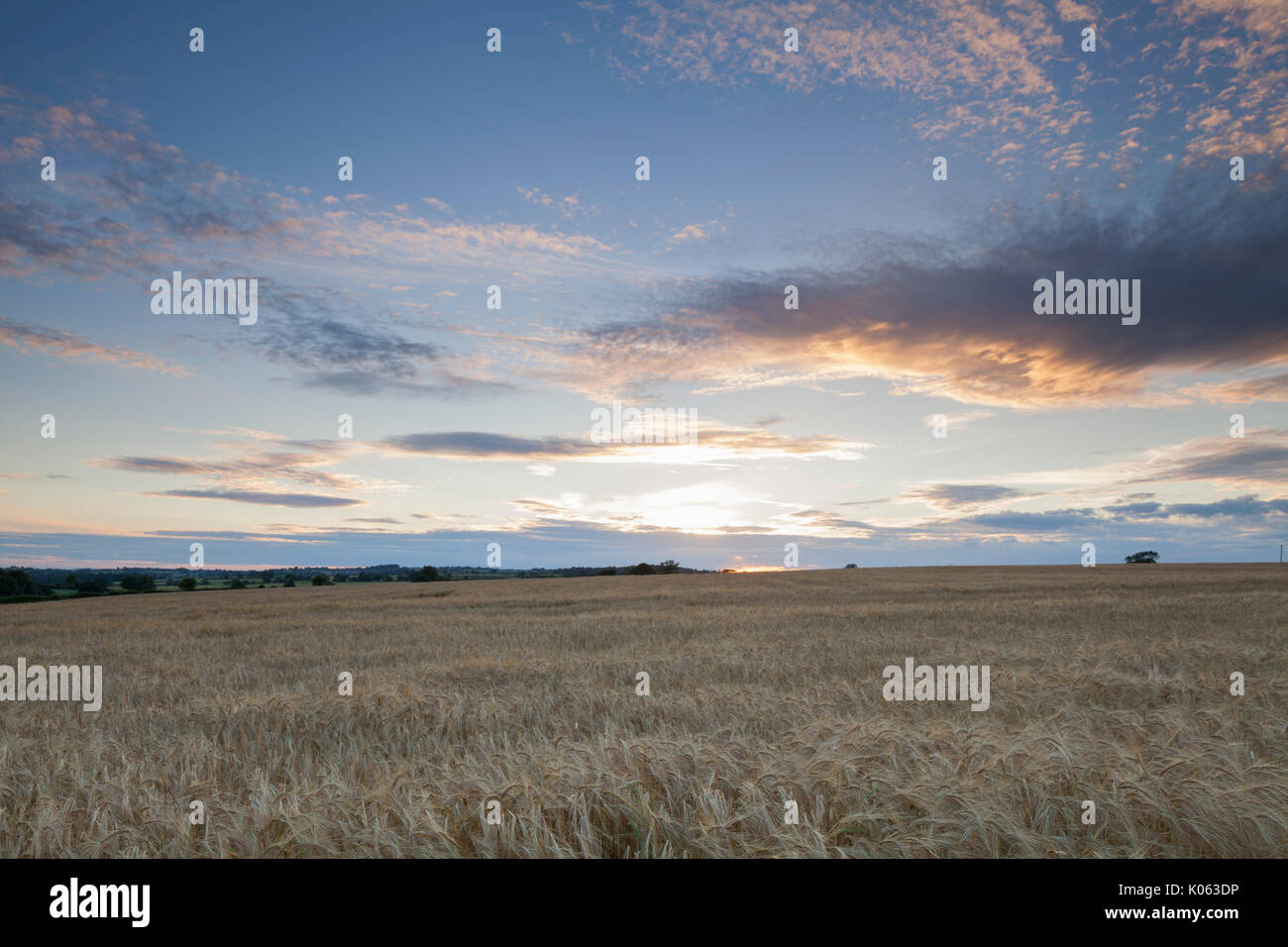A field of ripened barley near sunset on a July evening at Church Brampton in Northamptonshire, England. - Stock Image