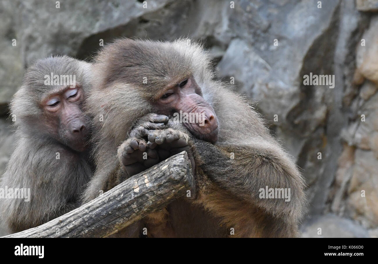 Berlin, Germany. 21st Aug, 2017. Two hamadryas baboons relaxing in their enclosure at the zoo in Berlin, Germany, Stock Photo