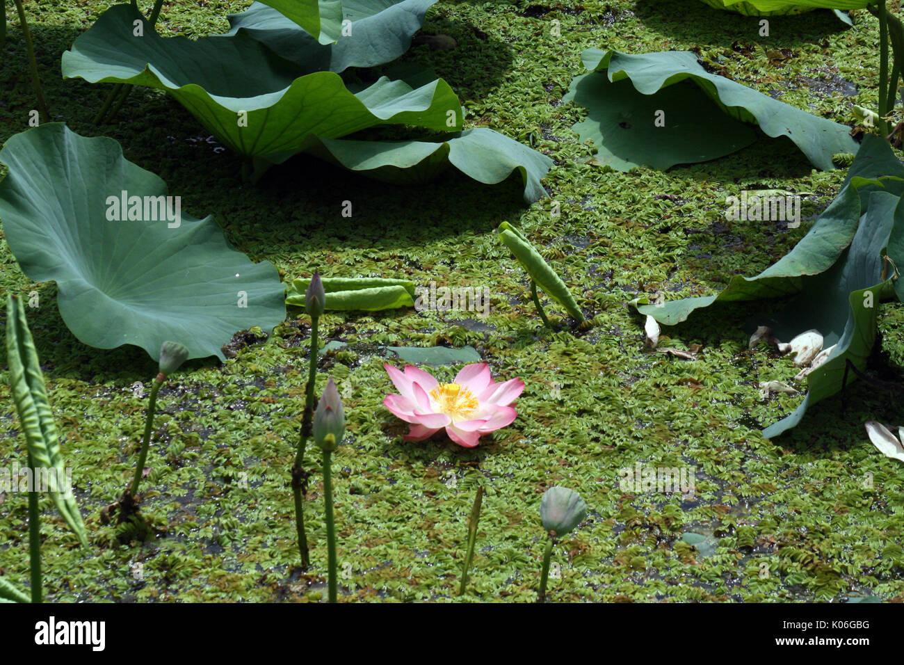 Srinagar Kashmir 22nd Aug 2017 A View Lotus Flower At Floating