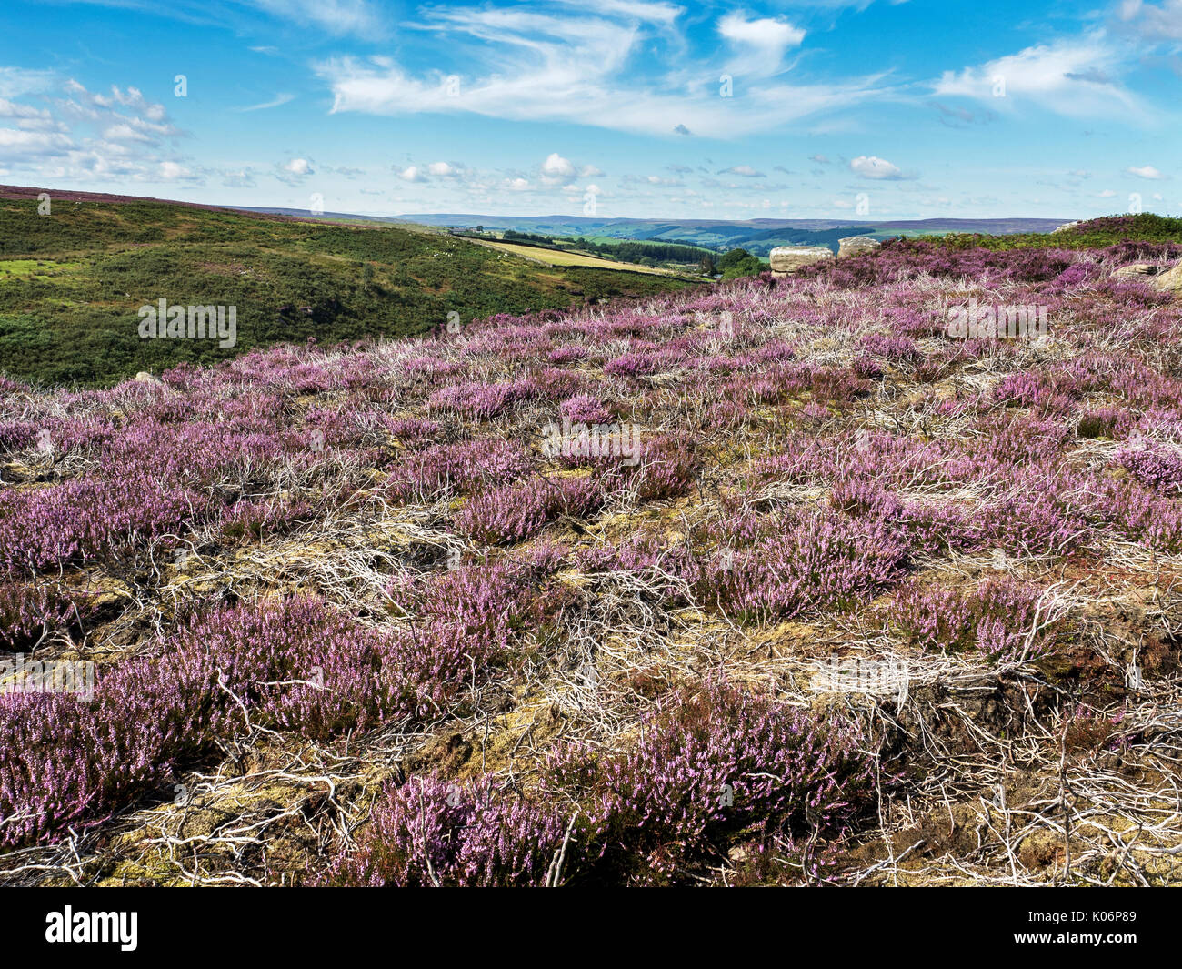 Heather Growing Back on Managed Grouse Moorland near Pateley Bridge Nidderdale AONB Yorkshire England - Stock Image