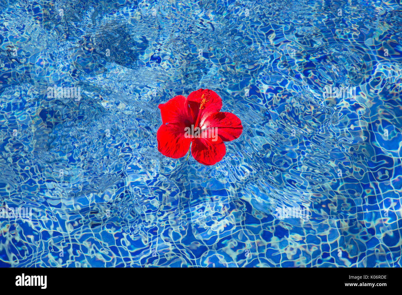Tropical Hibiscus Flower Floating In Blue Water Stock Photo