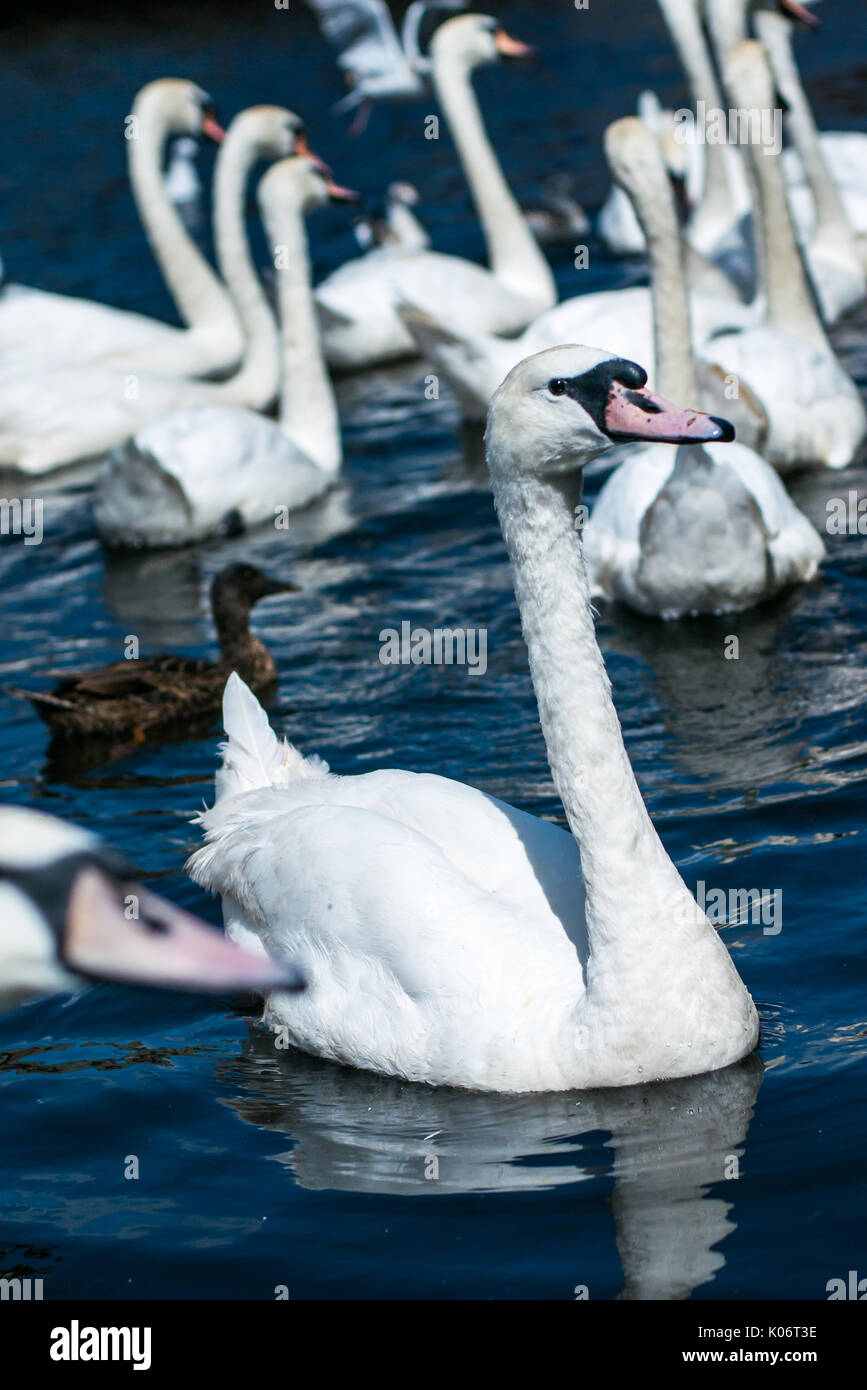 Swans on Alster lake near the Town Hall. Hamburg, Germany. Stock Photo