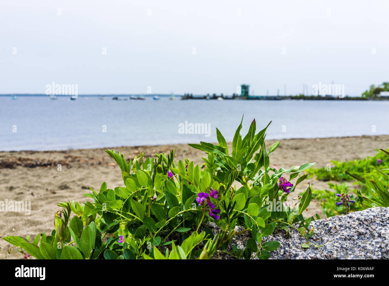 Marina harbor boats in the distance in Lincolnville, Maine small village during rain and beach with purple flowers Stock Photo