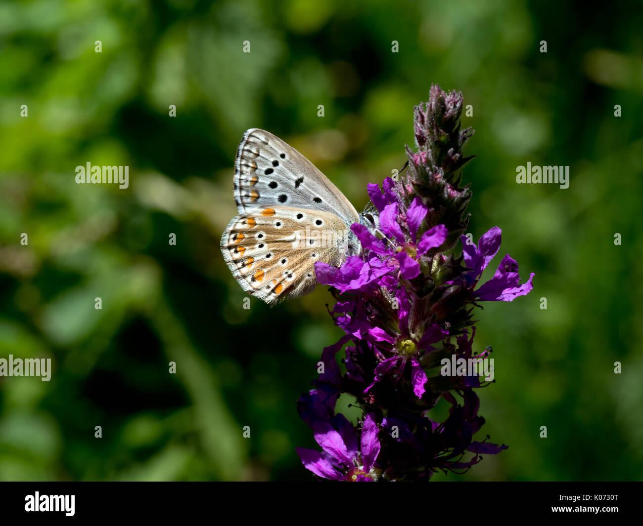 Polyommatus coridon. Chalkhill blue butterfly. - Stock Image