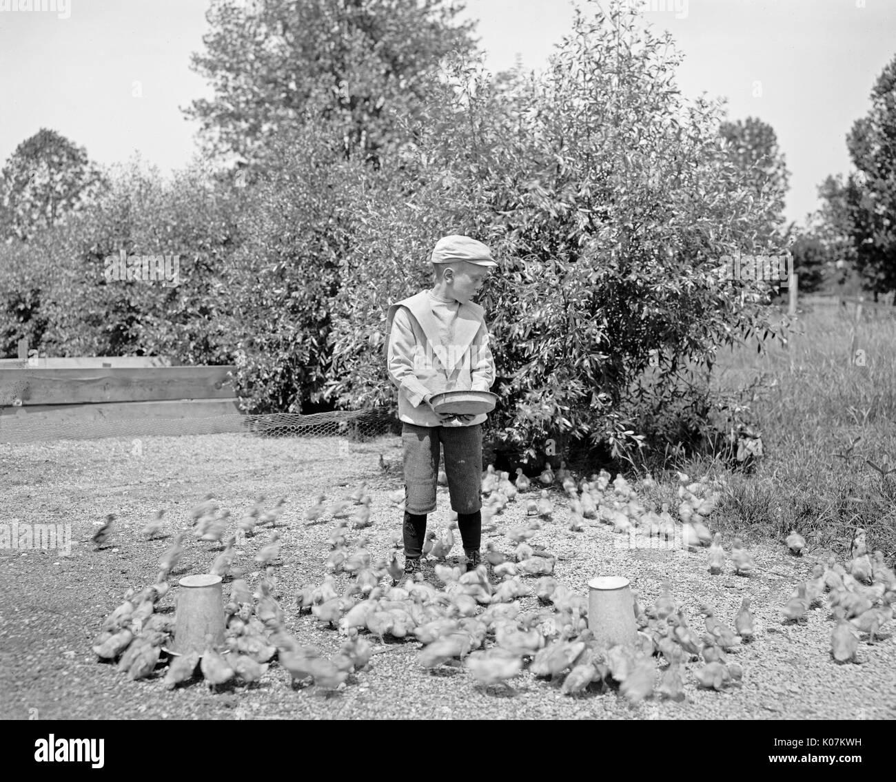 Grosse Isle duck farm, feeding the ducklings     Date: circa 1900 - Stock Image