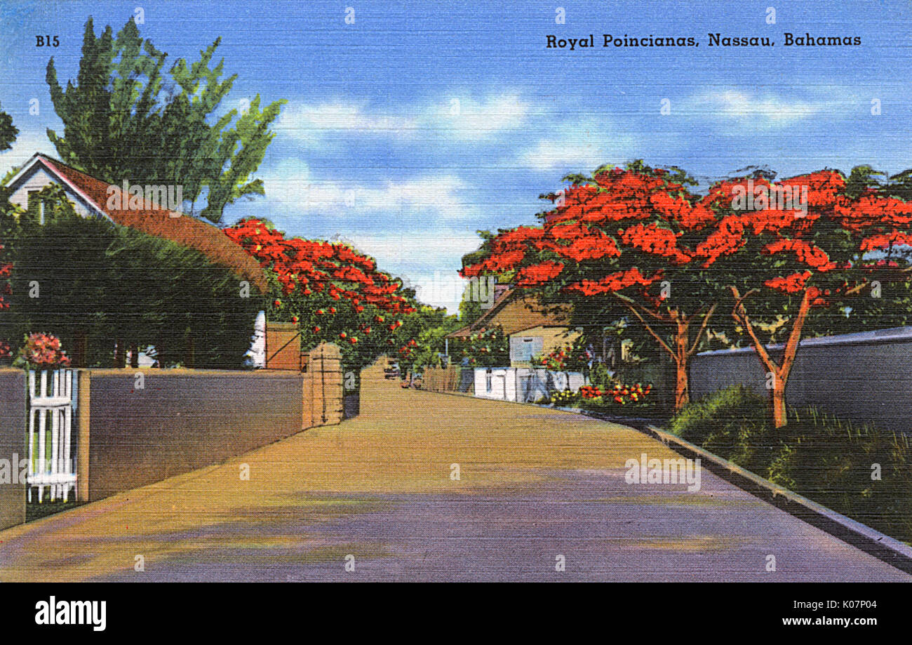 Royal Poincianas (Poinciana Regia), referred to as the glory of the summer season, in Nassau, Bahamas, West Indies.      Date: circa 1940 - Stock Image