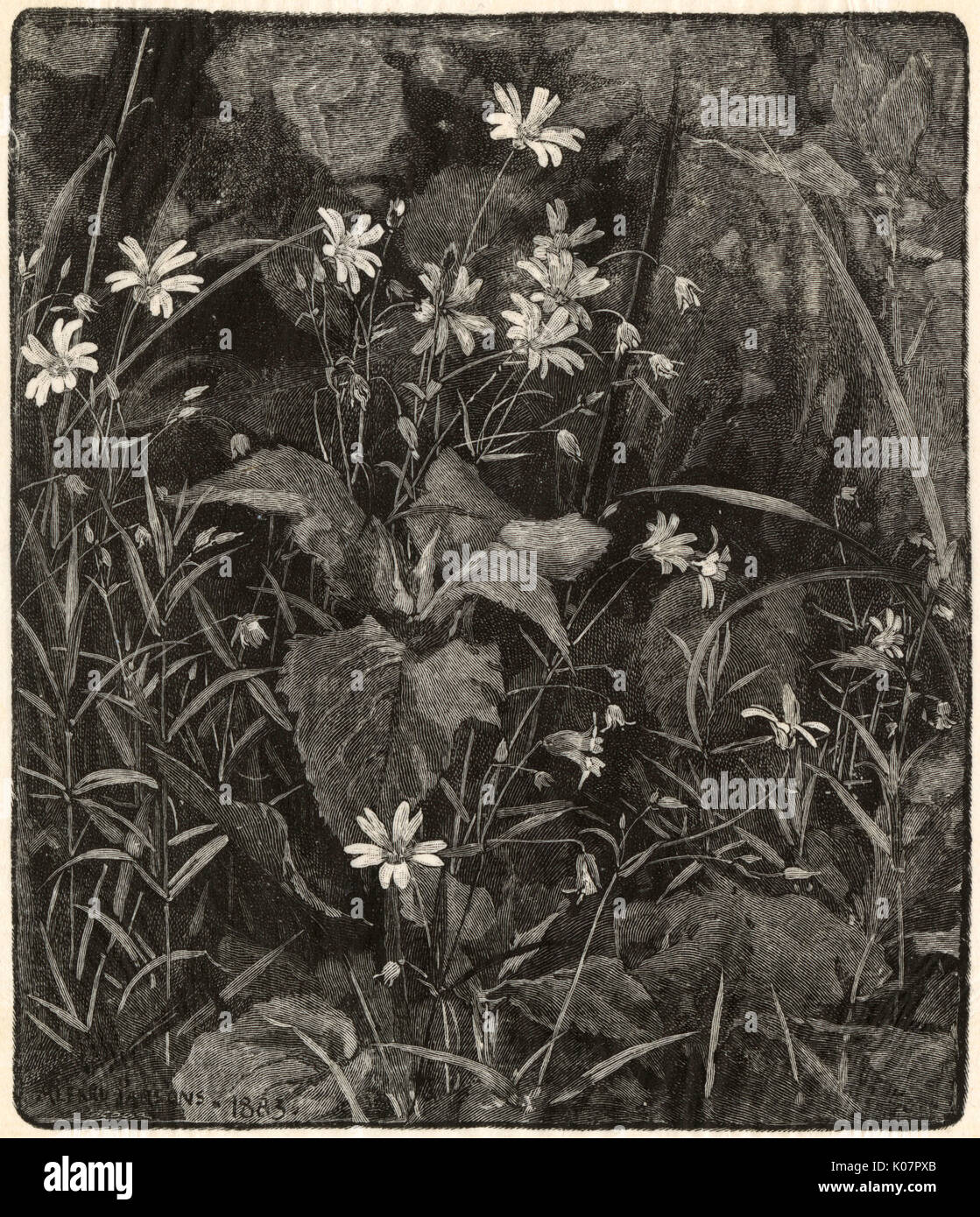 'Stitchwort 'by Alfred Parsons (1847-1920), engraved by Octave Lacour (1855-1921).     Date: 1884 - Stock Image