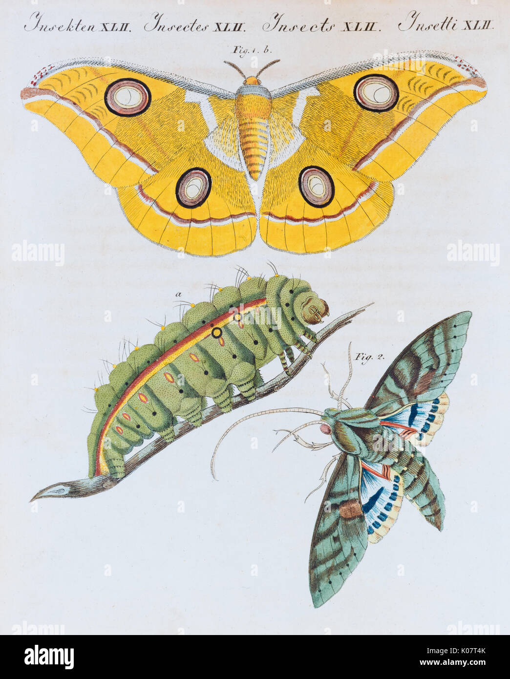 Yellow moth (Phalaena Bombyx Paphia), Gaudy Sphinx (Sphinx labruscae), butterflies, hand-colored copper engraving from - Stock Image