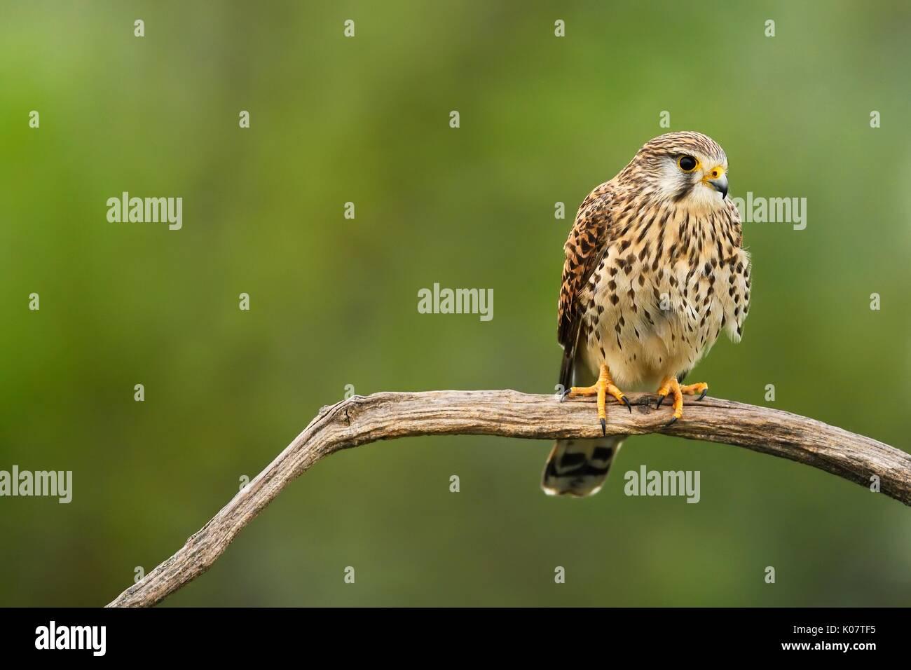 Common kestrel (Falco tinnunculus), female sitting on branch, Kiskunság National Park, Hungary - Stock Image