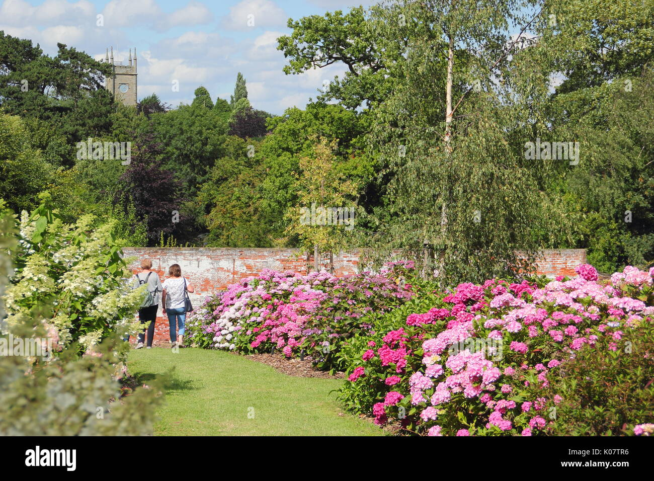 Visitors peruse the National Collection of Hydrangeas in full bloom in the walled garden at Darley Park, Derby, England, UK - August - Stock Image