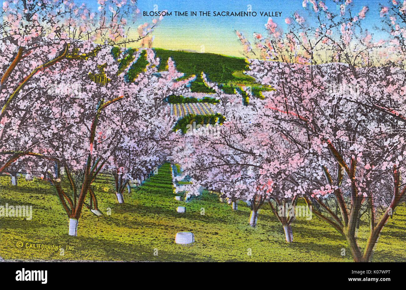 Sacramento, California, USA - Blossom time