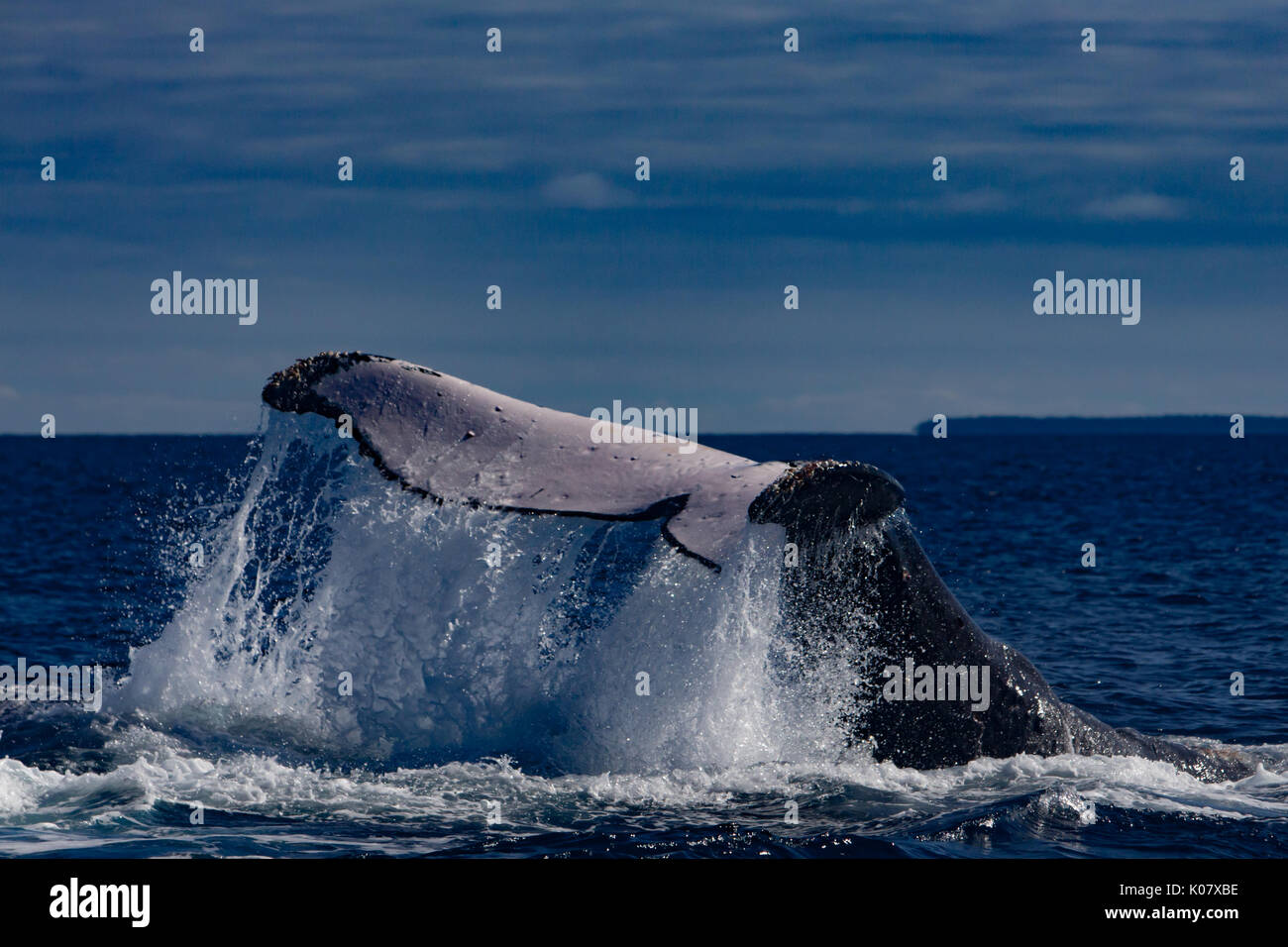 A competitive group or heat run of humpback whales in the Haapai group of Tonga - Stock Image