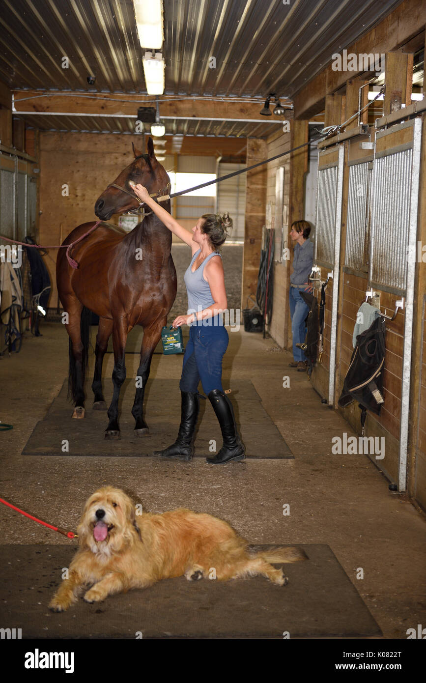 Mother and family dog with young horse rider applying wipe on fly spray to thoroughbred mare in cross ties at barn stables - Stock Image