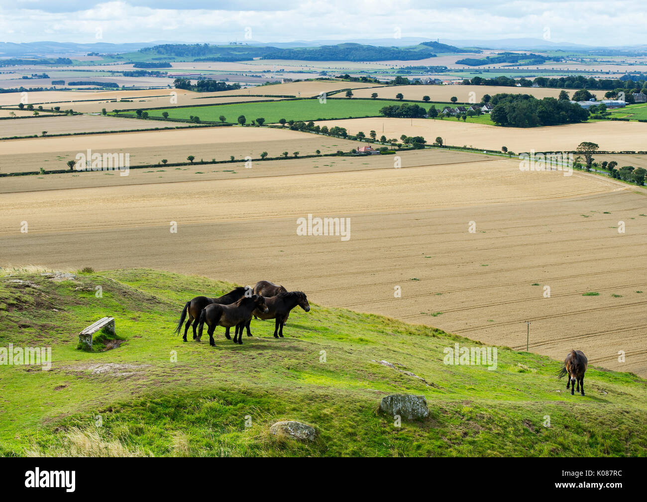 Exmoor ponies grazing on North Berwick Law, East Lothian. The ponies were introduced to the Law to improve the quality Stock Photo
